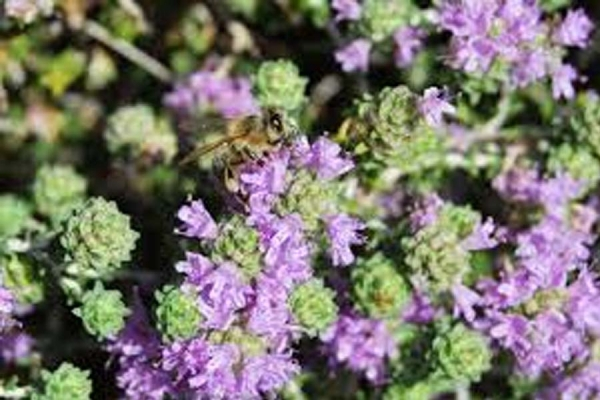 Essential oil thyme